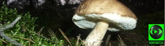 Gdzie wyjątkowo obrodziły grzyby?