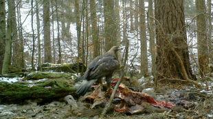 """Szczątki żubra miały przyciągnąć wilki.Zjawił się jednak inny """"gość"""""""