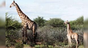 Wyjątkowo niska żyrafa z Namibii