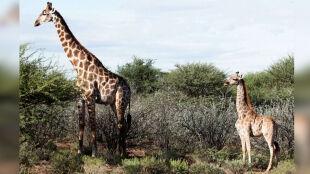 W Ugandzie i Namibii znaleziono dwie wyjątkowo niskie żyrafy