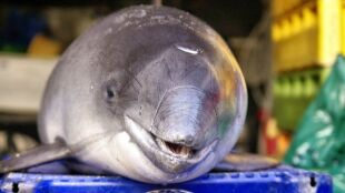"""Morświny zagrożone. W wodach Bałtyku pływa """"nieliczna populacja"""" tego gatunku"""